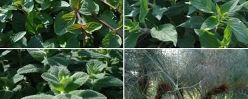 Plant : Eetbare planten en bloemen