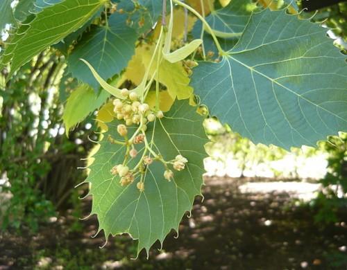Plant:Koningslinde