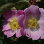 Rosa 'Bourgogne' bloei