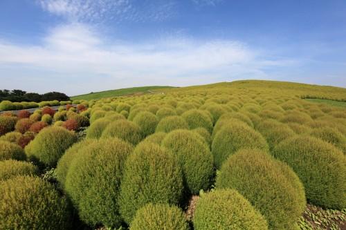 Plant: Kochia scoparia