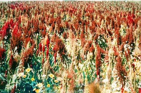 Plant: Amaranthus