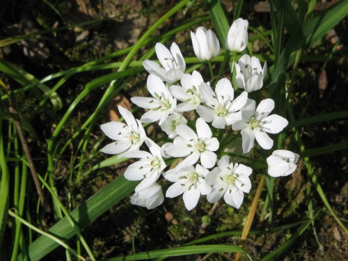 Plant: Allium neapolitanum