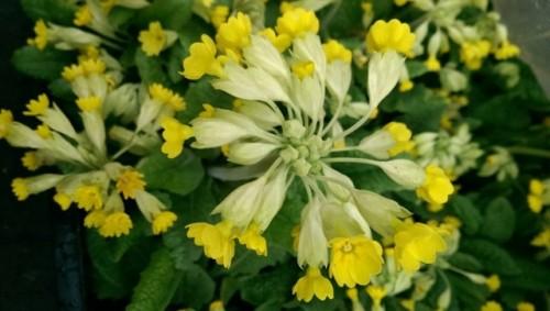 Plant: Primula veris