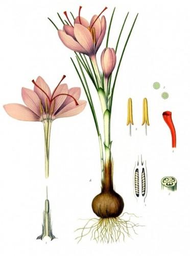 Saffraan – Crocus sativus