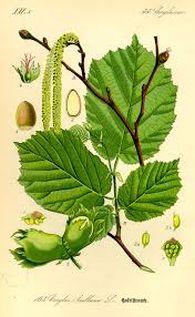 corylus botanisch