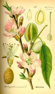 prunus botanisch