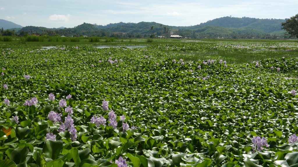 Eichhornia_crassipes_field_at_Langkawi