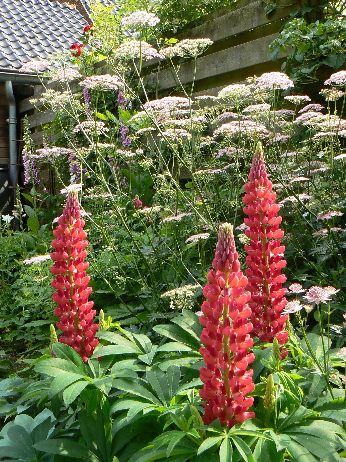 Tuinplanten archieven   bloemen in de tuin