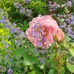 Rosa 'Lavendel Pinocchio'