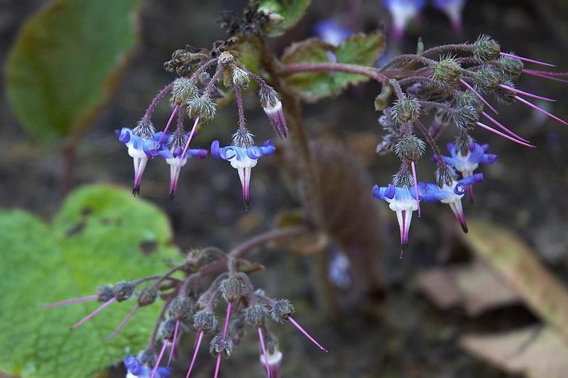 Trachystemon  orientalis, bloem