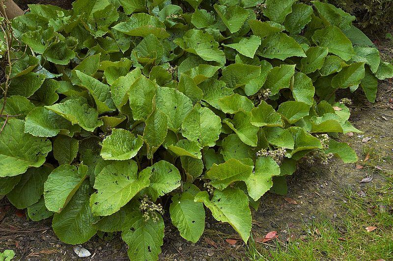Trachystemon orientalis, in blad
