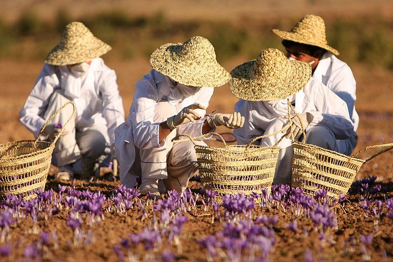 Saffraan oogst