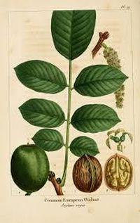 walnoot botanisch
